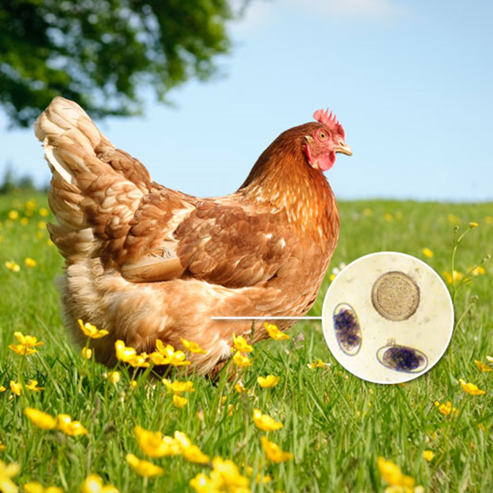 Image of Worm Count Kit - Chickens
