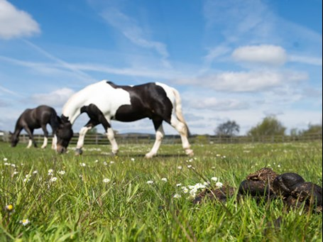 Horses Grazing - dung pile