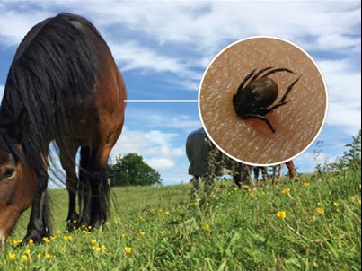 Ticks in horses