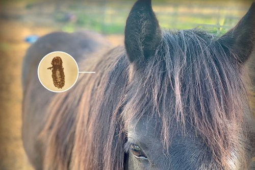 Lice Infection in horses